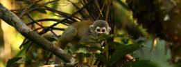 Squirrel Monkeys are New World monkeys of the genus Saimiri. They are the only genus in the subfamily Saimirinae. The name of the genus is of Tupi origin (sai-mirim or gai-mbirin < sai 'monkey' and mirim 'small') and was also used as an English name by early researchers. Wikipedia